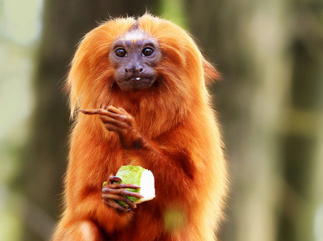 Golden lion tamarin at Apenheul, Apeldoorn, the Netherlands, making a well known gesture with its middle finger